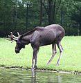 Elch Alces alces Tierpark Hellabrunn-3.jpg
