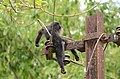 Electrocuted lion-tailed macaque infant in Valparai DSC 2558.jpg