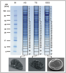 Electrophoretic separation of protein lysates of tardigrades in three different activity states - journal.pone.0045682.g001.png