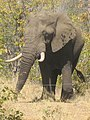 Elephant in Kruger Park near Shingwedzi.jpeg