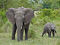 Elephants (Loxodonta africana) (11550030904).jpg