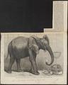 Elephas africanus - 1865 - Print - Iconographia Zoologica - Special Collections University of Amsterdam - UBA01 IZ22000086.tif