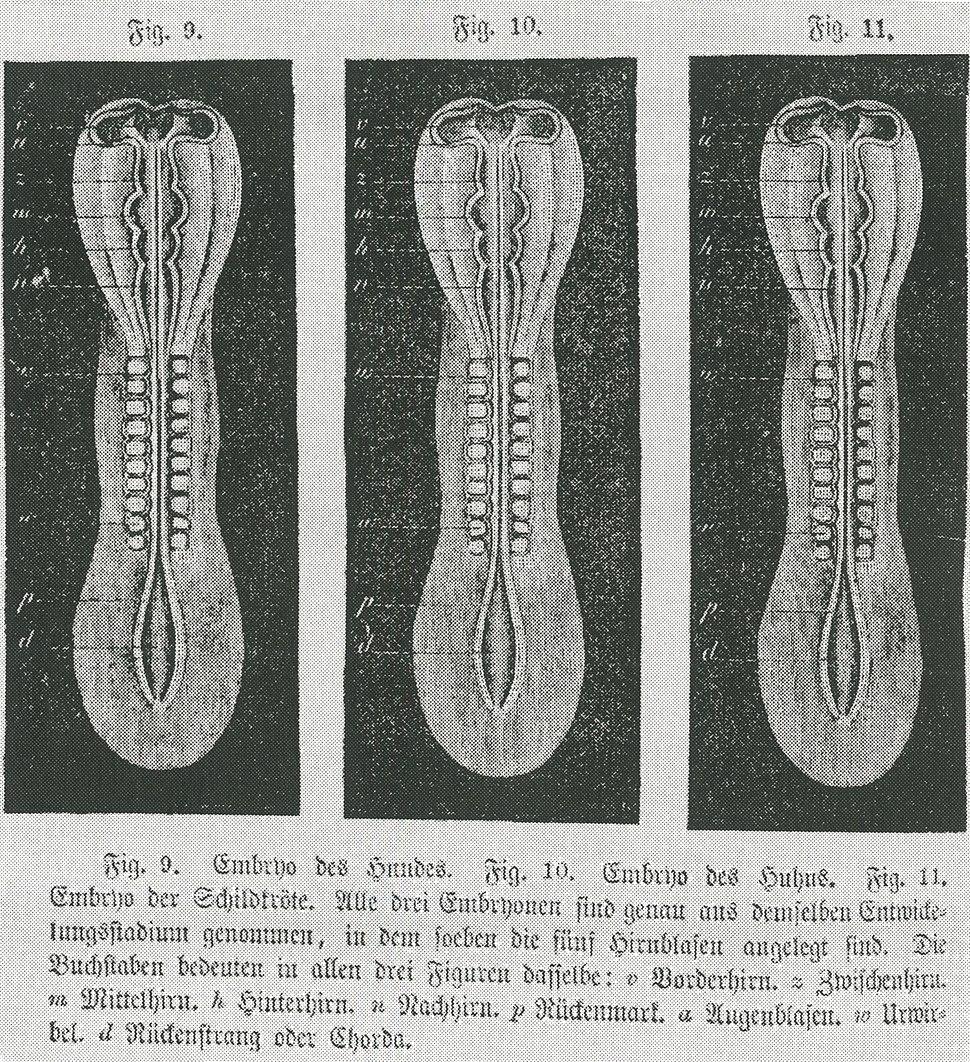 Embryo - copies