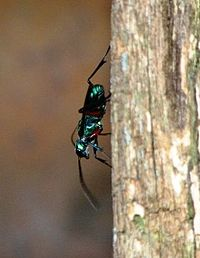 Emerald Wasp close up.jpg