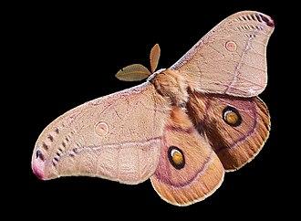 Moth - Emperor gum moth, Opodiphthera eucalypti