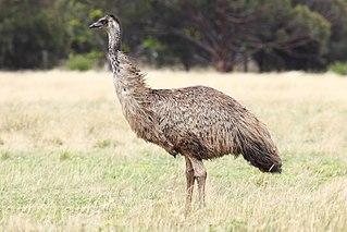Emu Oil: Wild Emu Specimen