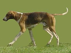 English Foxhound.jpg