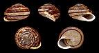 Eobania vermiculata 01.JPG