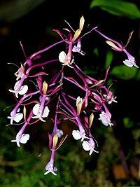 Epidendrum capricornu Orchi 68.jpg