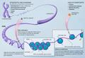 Epigenetic mechanisms.png