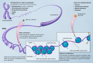 Epigenetics Study of heritable DNA and histone modifications that affect the expression of a gene without a change in its nucleotide sequence.