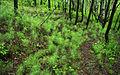 Equisetum arvense - group.jpg
