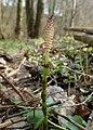 Equisetum pratense kz04.jpg
