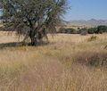 Eragrostis intermedia in arizona.jpg