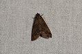 Erebidae sp. (35288827426).jpg