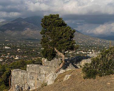 Cypress in Eretria