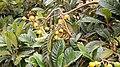 Eriobotrya japonica. Nesperal.jpg