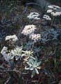 Eriogonum blissianum kz3.jpg