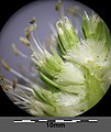 Eryngium campestre sl39.jpg