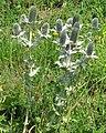 Eryngium giganteum RF.jpg