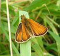 Essex Skipper.^Thymelicus lineola - Flickr - gailhampshire.jpg