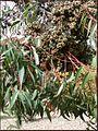 Eucalyptus cloeziana 3.jpg