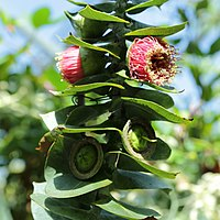 E. macrocarpa, kapseleukalyptus