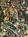 Eucalyptus radiata - flowers.jpg