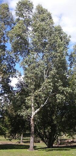 Anexo Especies De Eucalyptus Wikipedia La Enciclopedia