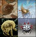 Euchelicerata collage.png