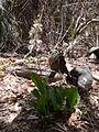 Eulophia guineensis 0008.jpg