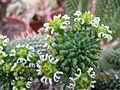 Euphorbia caput-medusae (4257451610).jpg