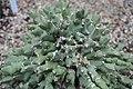 Euphorbia clivicola c-2763 01.jpg