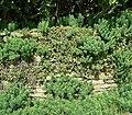 Euphorbia cyparissias 06 ies.jpg
