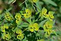 Euphorbia esula (7359018894).jpg
