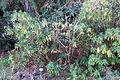 Euphorbia mellifera - San Francisco Botanical Garden - DSC09809.JPG