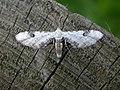 Eupithecia centaureata (2944850349).jpg