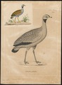 Eupodotis caerulescens - 1700-1880 - Print - Iconographia Zoologica - Special Collections University of Amsterdam - UBA01 IZ17200063.tif