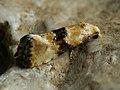 Eupoecilia angustana (40427314765).jpg
