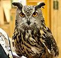 Eurasian Eagle Owl (5710564591).jpg