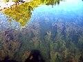 Eurasian water milfoil (Hilton Beach Marina).jpg