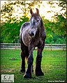 European Belgian Draft Horse Stud Colt LowCountry Acres Earl 01.jpg