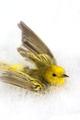 Fågeln gulsångare, 1860-tal St Barthélemy - Livrustkammaren - 102594.tif