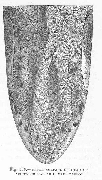 File:FMIB 48161 Upper Surface of Head of Acipenser naccarii, var Nardoi.jpeg