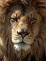 Face of a lion.jpg