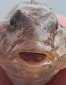 Face of a round goby.jpg