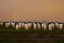Falkland Islands Penguins 11.jpg