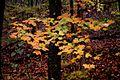 Fall-yellow-green-leaves - West Virginia - ForestWander.jpg