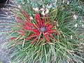 Fascicularia bicolor & Correa Marion's Marvel (23593616722).jpg