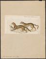 Felis marmorata - 1834 - Print - Iconographia Zoologica - Special Collections University of Amsterdam - UBA01 IZ22100338.tif